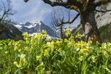 Cowslip, Karwendel Mountain Range, Sycamore Maple Trees, Mt Spritzkar-Spitze, Austria Photographic Print by Martin Zwick
