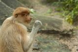 Proboscis Monkey, Lok Kawi Wildlife Park, Kota Kinabalu, Sabah, Borneo, Malaysia Photographic Print by Cindy Miller Hopkins