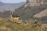 Mountain Nyala Antelopes in Bale Mountains National Park, Ethiopia, Africa Photographic Print by Martin Zwick