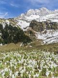 Spring Crocus, Austrian Alps, Eng Valley, Mt Lamssnspitze, Austria Photographic Print by Martin Zwick
