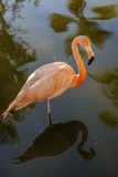 Pink Flamingo, Bavaro, Higuey, Punta Cana, Dominican Republic Photographic Print by Lisa S. Engelbrecht