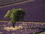 View of Single Tree in Lavender Field, Provence-Alpes-Cote d'Azur, Drome, France Photographic Print by David Barnes