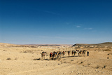 A Bedouin Man Walks with His Camels across the Desert, Negev Desert, Israel Photographic Print by David Noyes