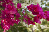 Bougainvillea Flowers, Grand Cayman, Cayman Islands, British West Indies Photographic Print by Lisa S. Engelbrecht