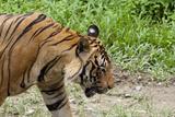 Malayan Tiger, Lok Kawi Wildlife Park, Sabah, Borneo, Malaysia Photographic Print by Cindy Miller Hopkins