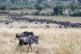 Wildebeest Wildlife, Maasai Mara, Kenya, Africa Photographic Print by Kymri Wilt