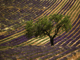 Lonely Tree in Lavender Field, Vaucluse, Haute Province, France Photographic Print by David Barnes