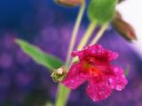 View of Monkey-Flower, Mt Rainier National Park, Washington, USA Photographic Print by Stuart Westmorland
