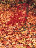 View of Autumn Japanese Maple Flora, Washington Park, Seattle, Washington, USA Papier Photo par Stuart Westmorland