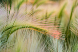 Foxtail Barley Agriculture Near Regent, North Dakota, USA Photographic Print by Chuck Haney
