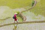 Igorot Woman, Rice Terraces, Agriculture, Philippine Cordilleras, Philippines Photographic Print by Keren Su