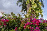 Bougainvillea Flora, Bavaro, Higuey, Punta Cana, Dominican Republic Photographic Print by Lisa S. Engelbrecht