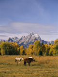Horses in Grand Teton National Park, Wyoming, USA Photographic Print by Stuart Westmorland