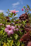 Tropical Garden, Hibiscus Flora, Bavaro, Higuey, Punta Cana, Dominican Republic Photographic Print by Lisa S. Engelbrecht