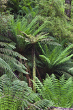 Tree Fern in Melba Gully, Great Otway Np, Victoria, Australia Photographic Print by Martin Zwick