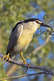 Black-Crowned Night Heron Bird in the Danube Delta, Portrait, Romania Photographic Print by Martin Zwick