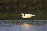 Little Egret Bird, Danube Delta Romania Photographic Print by Martin Zwick