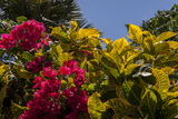 Bougainvillea Flowers, Bavaro, Higuey, Punta Cana, Dominican Republic Photographic Print by Lisa S. Engelbrecht