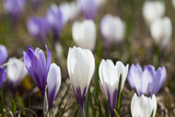Spring Crocus Flowers, Eastern Alps, South Tyrol, Italy Photographic Print by Martin Zwick