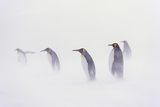 King Penguin Colony, St. Andrews Bay, Island of South Georgia Stampa fotografica di Martin Zwick