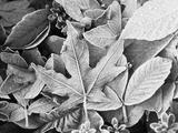 Bigleaf Maple Flora, Washington Park, Seattle, Washington, USA Photographic Print by Stuart Westmorland