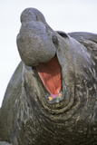 Southern Elephant Seal Bull, South Georgia Photographic Print by Martin Zwick