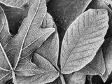 Winter Frost on Bigleaf Maple Flora, Washington Park, Seattle, Washington, USA Photographic Print by Stuart Westmorland