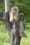 Baby Macaque Monkey, Coconut Plantation, Ko Samui, Thailand Fotografisk tryk af Cindy Miller Hopkins