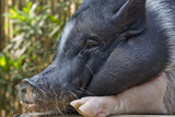 Hog in the Philippines Photographic Print by Keren Su