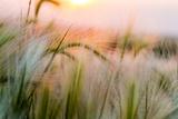 Foxtail Barley Agriculture Near Regent, North Dakota, USA Stampa fotografica di Chuck Haney