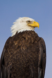 Eagle Portrait, Homer, Alaska, USA Photographic Print by Terry Eggers