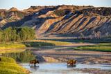 Bison Wildlife Crossing Little Missouri River, Theodore Roosevelt National Park, North Dakota, USA Stampa fotografica di Chuck Haney