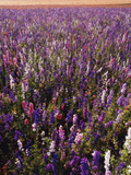 Delphinium Field on Willamette Valley, Oregon, USA Photographic Print by Stuart Westmorland