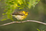 Cape May Warbler Bird, Juvenile Male Foraging During Migration Photographic Print by Larry Ditto