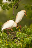 Cattle Egrets Bird Nest Building, Jefferson Island, Louisiana, USA Photographic Print