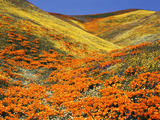 California Golden Poppy Flower at Tehachapi Mountains, California, USA Photographic Print by Stuart Westmorland