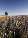 Single Tree in Delphiniums Field, Oregon, USA Photographic Print by Stuart Westmorland