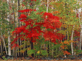 Red Maple and White Birch, White Mountains National Forest, New Hampshire, USA Photographic Print by Adam Jones