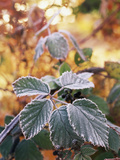 View of Winter Frost on Blackberry Leaf, Stevens Pass, Washington State, USA Photographic Print by Stuart Westmorland