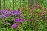 Blooming Azaleas in Forest, Winterthur Gardens, Delaware, USA Photographic Print