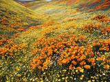 View of California Golden Poppy Flowers on Hill, Antelope Valley, California, USA Photographic Print by Stuart Westmorland