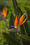 Bird of Paradise Flower, Kula Botanical Garden, Upcountry, Maui, Hawaii, USA Photographic Print by Douglas Peebles