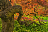 Close-Up Japanese Maple Tree, Winterthur Gardens, Delaware, USA Photographic Print