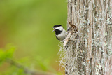 Carolina Chickadee Bird, Adult Male Singing on Territory, May Photographic Print by Larry Ditto