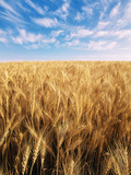 Wheat Field, Oregon, USA Photographic Print by Stuart Westmorland