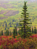 Autumn on the Taiga, Denali National Park, Alaska, USA Photographic Print by Michel Hersen