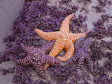 Ochre Sea Stars, Ecola State Park, Oregon, USA Photographic Print by Jamie & Judy Wild