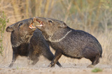 Collared Peccary Bird or Javelina Fighting, Texas, USA Photographic Print by Larry Ditto