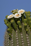 Flowering Saguaro Cactus, Saguaro National Park, Tucson, Arizona, USA Photographic Print by Peter Hawkins