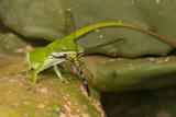 Anole Lizard with Dragonfly Prey, Jefferson Island, Louisiana, USA Photographic Print